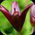 Cibuloviny a hlíznaté rostliny