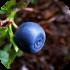 Lesní plody