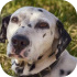Dalmatini a jiní společenští psi