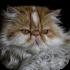 Perské a exotické kočky