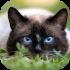 Siamské a orientální kočky