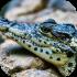 Krokodýli, aligátoři