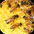 Včely, včelstva