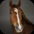Plnokrevní koně
