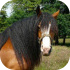 Chladnokrevní koně