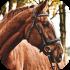 Teplokrevní koně
