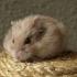 Hlodavci, králíci, morčata, drobní savci