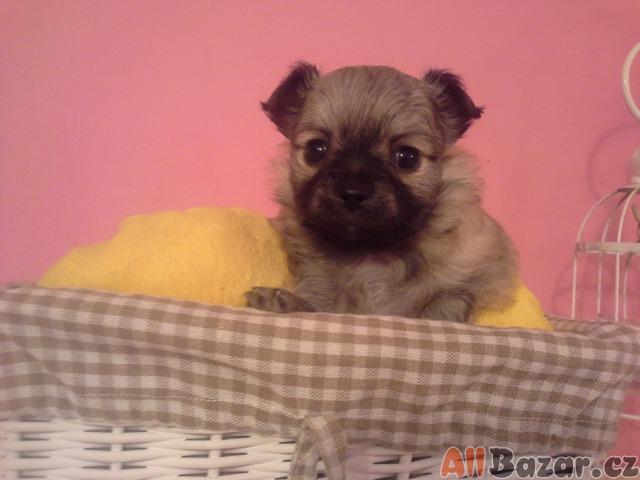... Prodám štěně Čivava ... f6d04105d1