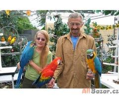 Domácí zvedl dítě papoušek a papoušek vejce