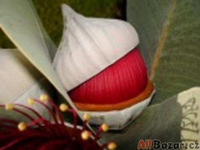 Eucalyptus Macrocarpa - exotická semena