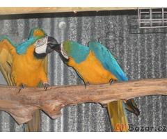 Ara Ararauna papousek papousci pro prodej
