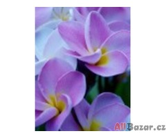 Sazenice Strelitzia Nicolai - semena neoseeds