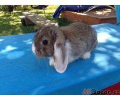 Prodám 2 zakrslé králíčky - beránek
