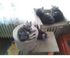 Britská mramorovaná koťátka Whiskas s PP