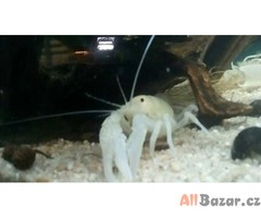 Procambarus clarkii var White