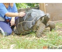 Krásný obří Aldabra želva na prodej