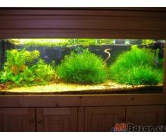 Akvarijní rotlinky - Blyxa Japonica