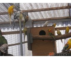 Prodej papoušků zpěvavých