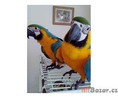 Roztomilý papoušci k dispozici