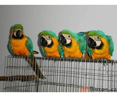 Ara papoušci ~ DNA, mikročip
