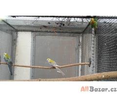 Rosely , Papoušek nádherný