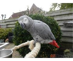 Africký papoušek šedý k přijetí