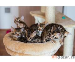 Bengálská kotata