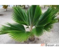 palma Pritchardia pacifica - semena
