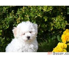 Boloňský psík štěňata s PP (ČMKU)