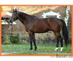 Prodej krásných plnokrevných koní