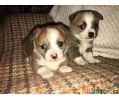 Civava - štene - pejsek s PP