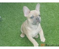 Prodám štěně francouzkeho buldocka