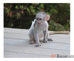 Kapucín opice