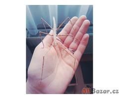 Prodám strašilky druhu Medauroidea extradentata