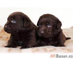 Labrador čokoládová štěňata s PP
