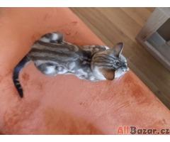 Bengálské kočičky