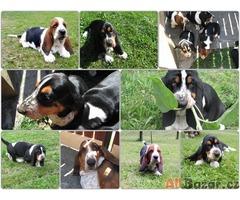Basset hound - štěňátka