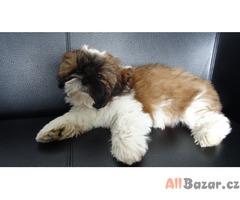 Prodám kvalitní štěňata Shih-tzu s PP,  1 fenka 1 pes