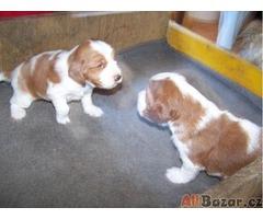 Prodám štěnata WSS s P.P. z chovné stanice