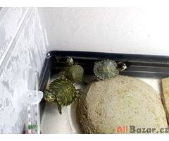 Prodám Vodní želvy