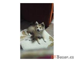 Prodám štěně německého špica