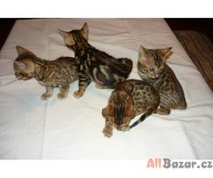 prodám bengálská leopardí koťata