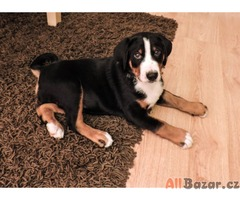 Appenzellský salašnický pes - pejsek ihned k odběru