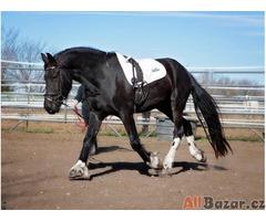 Elegantní Friesian Valach kůň na prodej 100% přátelský.