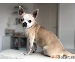 Pes Čivava