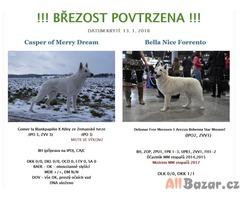 Švýcarský ovčák - štěňata s PP