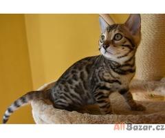 Koťátka kočky bengálské s pp