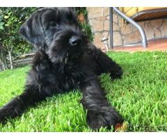 Knírač velký černý štěn. s PP