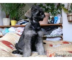 Knírač velký Pepř a Sul štěn. s PP