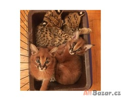 savannah koťátko a koťata Caracal na prodej